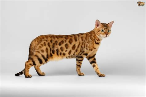 bengal cats breed of cats animal mating bengal cat breed information buying advice photos and