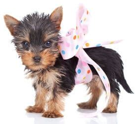 teacup yorkie bows cuteness kills the against teacup dogs terribly terrier