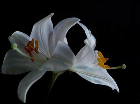 fiore giglio bianco giglio bianco quello le donne pensano
