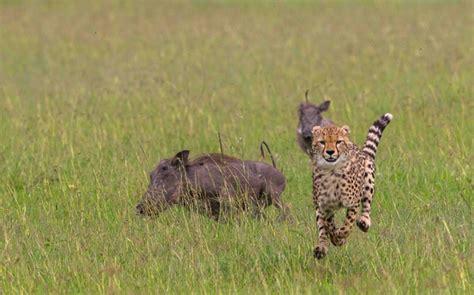 Turns Cheetah by Warthogs Turn On Cheetah Cubs In Kenya S Maasai Mara