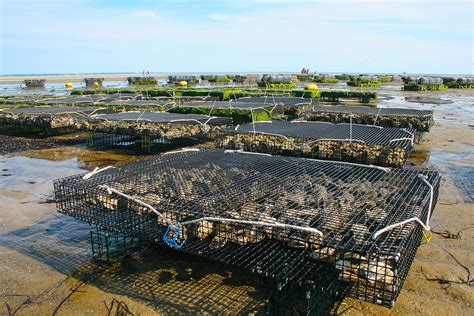Free photo: Oyster Farm, Shellfish, Fis, Oyster   Free Image on Pixabay   1404177