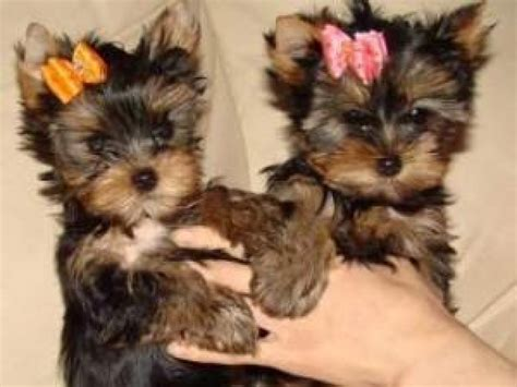 teacup yorkie 300 tiny teacup yorkie puppies now available with pics call 484 265 1106