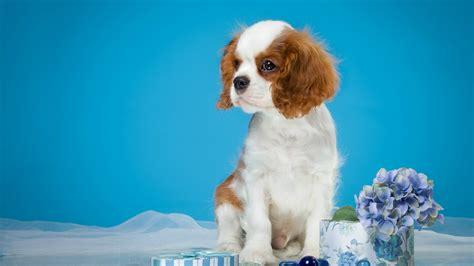 wallpaper spaniel dog puppy hd animals
