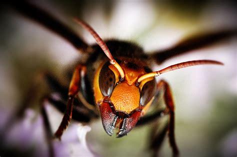 imagenes de avispas rojas giant japanese hornet anatomy rundown arthropoda