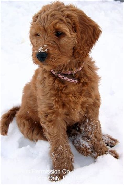 goldendoodle puppy fur 1000 ideas about goldendoodle miniature on