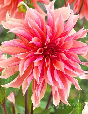 Brigita Pink Syari labyrinth decorative dahlia 74213