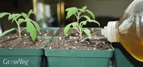 How Much Fertilizer To Use In Vegetable Garden Tomato Fertilizer