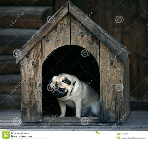 pug dog house sad pug dog in the dog house stock photo image 45413679