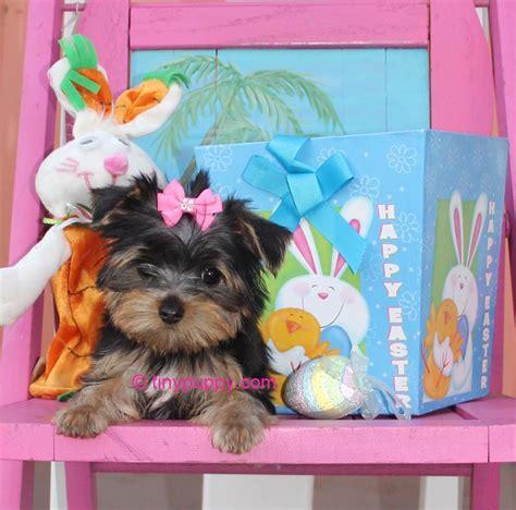 teacup havanese puppies for sale in illinois poodles for sale teacup parti poodles tea cup poodle design bild