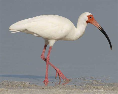 white ibis audubon field guide