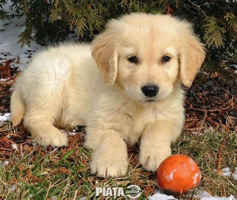 affordable golden retriever puppies for sale 2017 cheap golden retriever de vanzare puppies for sale pictures images