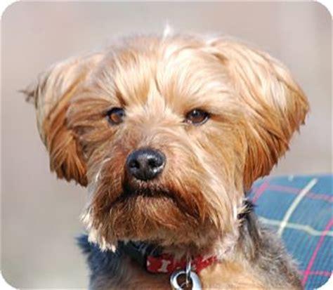 puppies rhode island terrier breeders rhode island photo