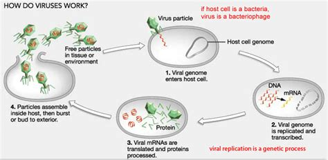 Virus Reproduction Diagram