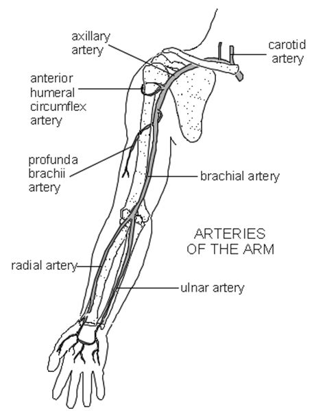 arm diagram arteries of the arm diagram patient co uk