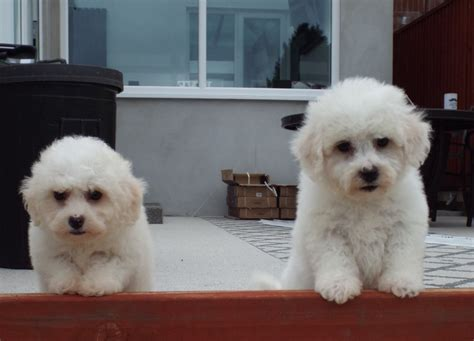 miniature bichon frise puppies for sale beautiful mini poodle x bichon frise puppies llanelli carmarthenshire pets4homes