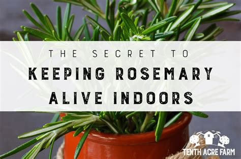 secret  keeping rosemary alive indoors tenth acre farm
