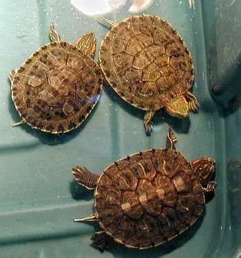 vasche per tartarughe d acqua dolce vasca per tartarughe tartarughe d acqua