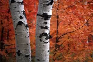 Birch trees find favor among homeowners because of their beautiful