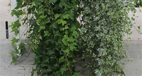 edera da vaso edera ricante piante in giardino caratteristiche