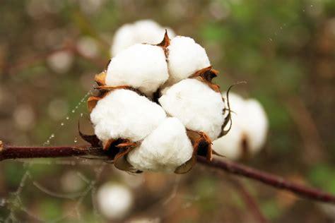 entwicklungsl 228 nder setzen auf gentechnik - Läufer Baumwolle