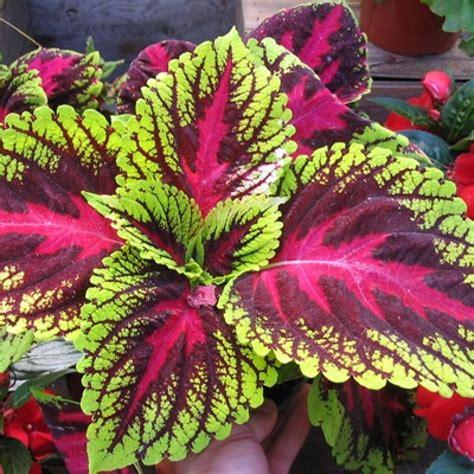 buy coleus tricolor   cheap price indias