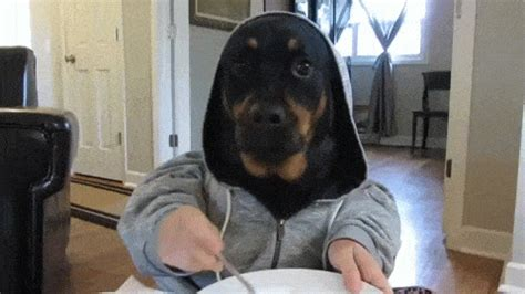 rottweiler gif 12 rottweilers to cheer you up rover