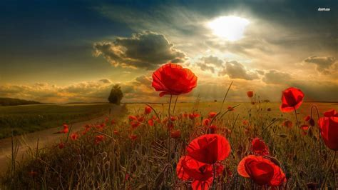 poppy background poppy wallpapers wallpaper cave