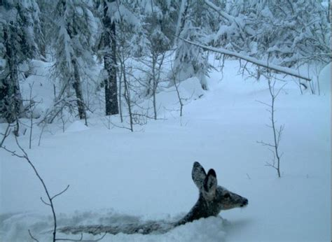 hd trailcam pictures of wolves in winter 34 best images about trail pics on