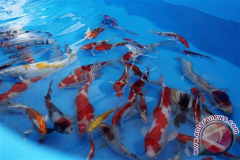 Bibit Ikan Koi Berkualitas sukabumi gelar lelang ikan koi berkualitas antara news