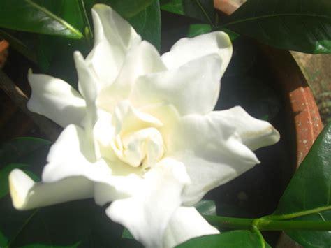 gardenia flower delivery gardenia flower pictures white gardenia flowers
