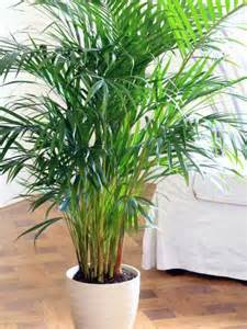 large houseplants indoor palm images which are the typical types of palm trees interior design ideas avso org