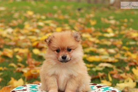 pomeranian near me pomeranian puppy for sale near lancaster pennsylvania f8018c25 67b1