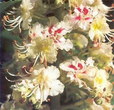 fiori di bach white chestnut fiori di bach white chestnut ippocastano bianco