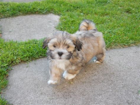 lhasa apso puppies for sale lhasa apso puppies for sale glasgow lanarkshire pets4homes