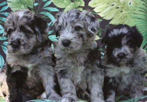 bergamasco puppies bergamasco sheepdog puppies for sale akc puppyfinder