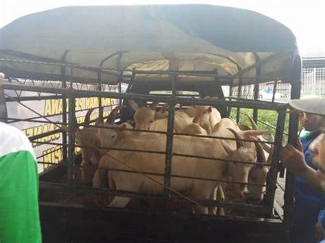 Bibit Kambing Perah akhiri krisis bibit kementan sebar kambing unggul