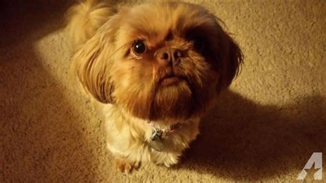 liver nose shih tzu beautiful liver imperial shih tzu for sale in farmington missouri classified