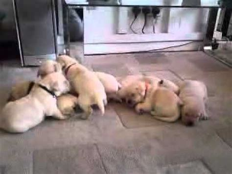 puppy cries chow chow puppies for sale in des moines iowa ia bettendorf marion cedar
