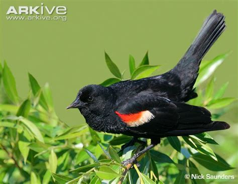 red winged blackbird videos photos and facts agelaius