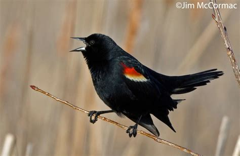 ohio birds and biodiversity march 2015