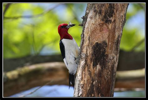 red headed woodpecker with food for babies flickr
