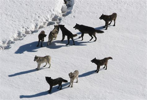 9 best images about wolf biology and behavior international wolf center