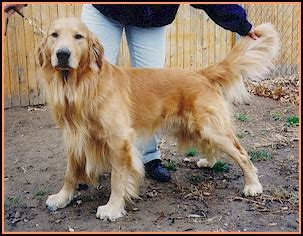 golden retriever hips hip dysplasia