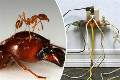 What Attracts Ants In The Bedroom by Turkish Ants Attracted To Electricity Their