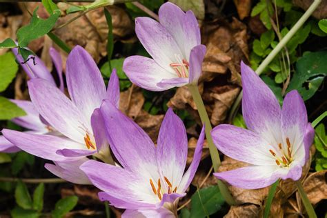 flowers that bloom in fall autumn crocus a touch of spring in fall missouri