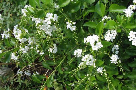 duranta erecta alba by the gardening blog