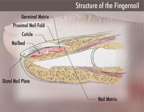 what is a nail bed types of onychomycosis which do you have sterishoe
