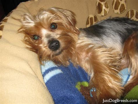 large yorkie breed yorkie mixed breeds breeds picture
