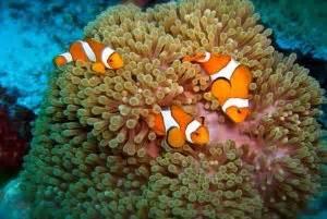 Makanan Ikan Hias Nemo mengenal jenis jenis ikan nemo yang lucu beserta gambarnya
