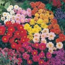 Bibit Bunga Dahlia Pompon bibit bunga dahlia pompon